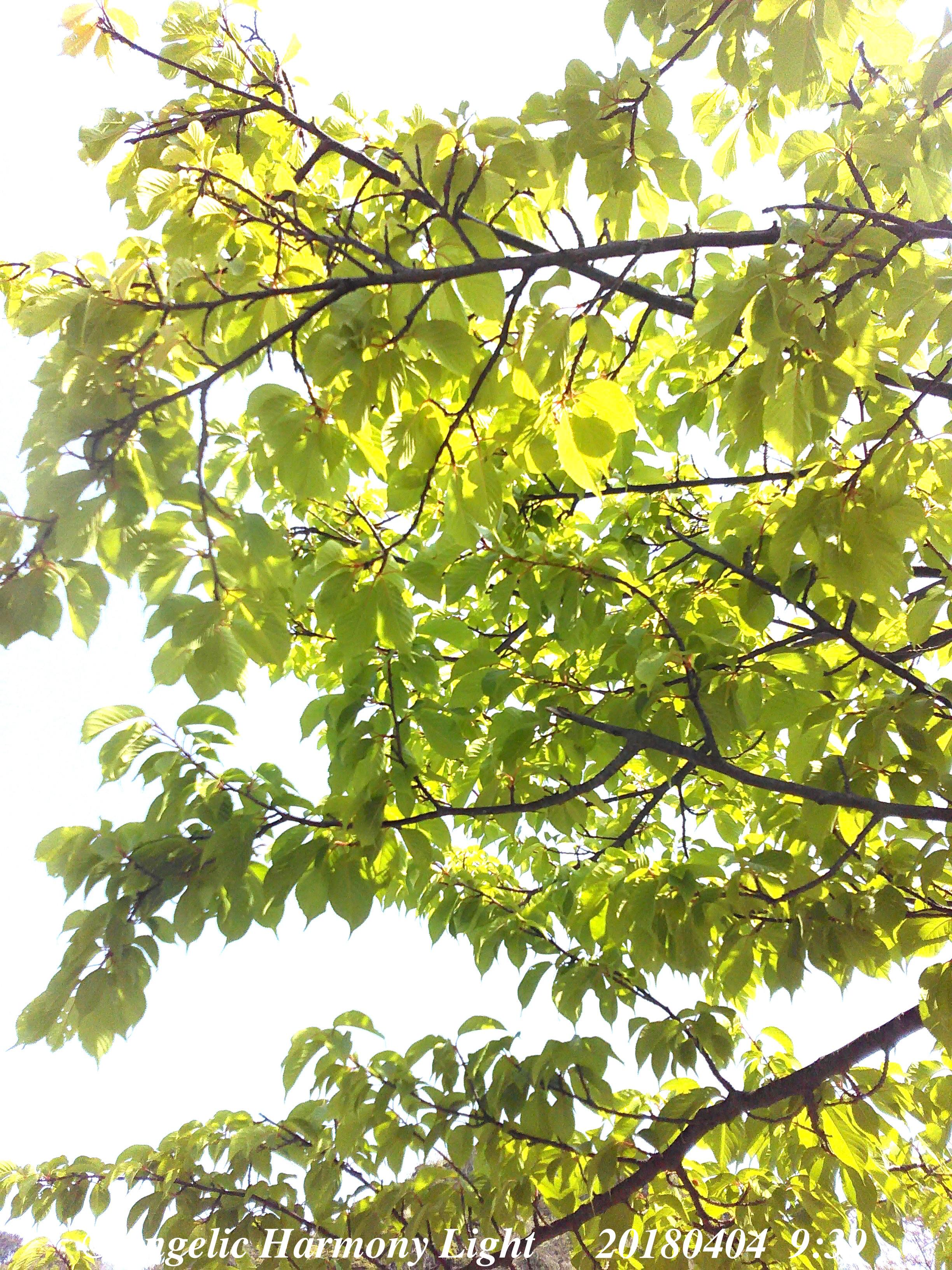 2018年4月14日緑うるわし葉桜さん♪